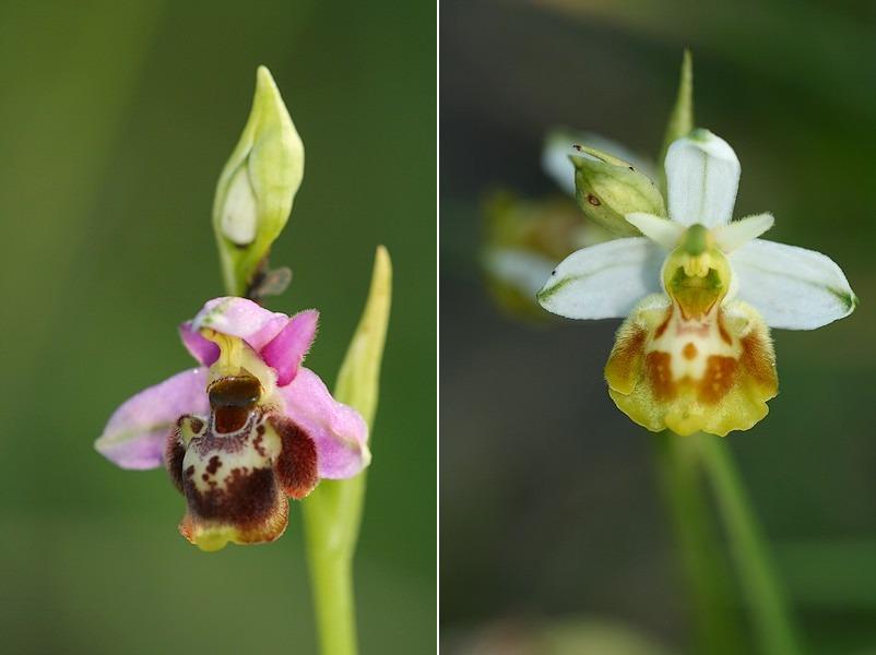 Ophrys gresivaudanica ( Ophrys du Grésivaudan ) Ophgre1