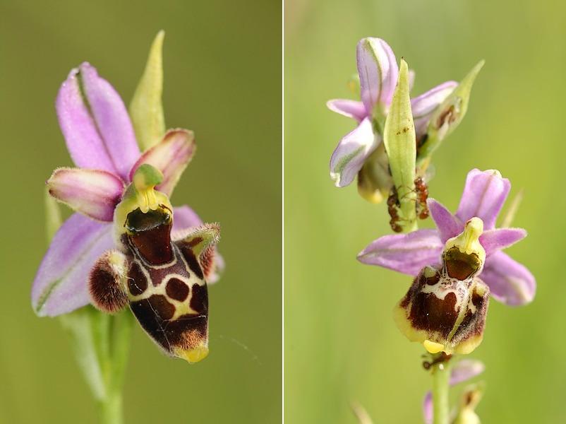 Ophrys gresivaudanica ( Ophrys du Grésivaudan ) Ophgre2