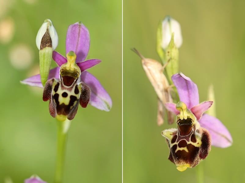 Ophrys gresivaudanica ( Ophrys du Grésivaudan ) Ophgre3