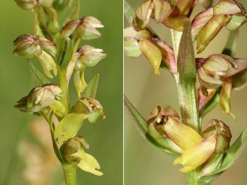 Dactylorhiza viridis( Orchis grenouille ) Coevir3