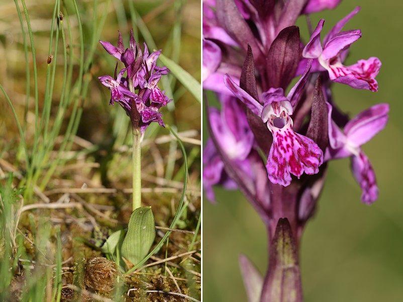Dactylorhiza parvimajalis ( Petit Orchis de mai ) Dacpar2