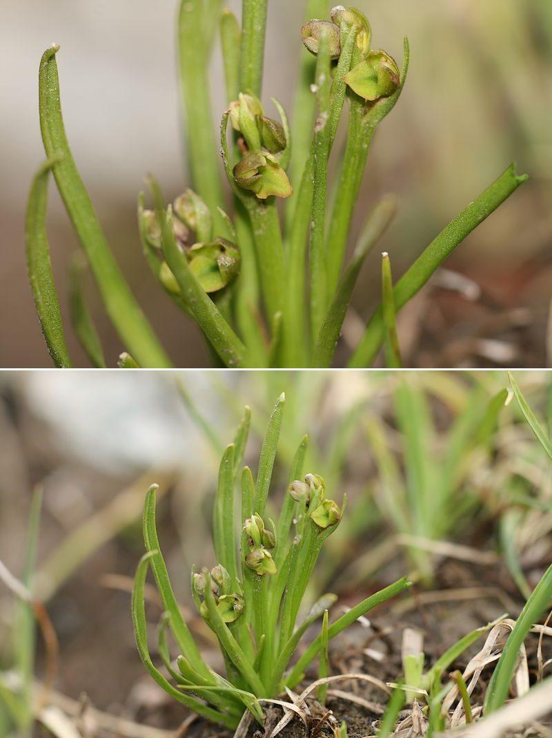 Chamorchis alpina  ( Orchis nain ) Chaalp2