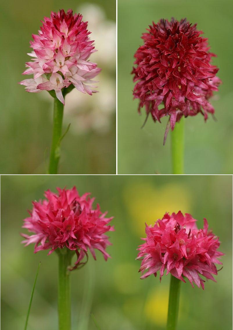 Gymnadenia ( Nigritella ) corneliana ( N.de Cornelia ) Gymcor