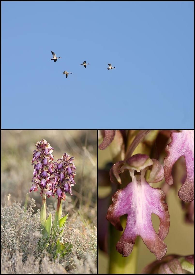 Himantoglossum robertianum (Barlia, Orchis géant ) Pata1