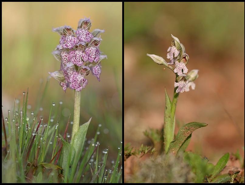 Neotinea lactea ( Orchis couleur de lait ) Neolac1