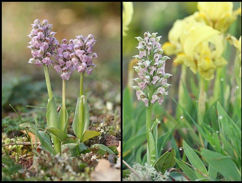 Neotinea lactea ( Orchis couleur de lait ) Neolac3
