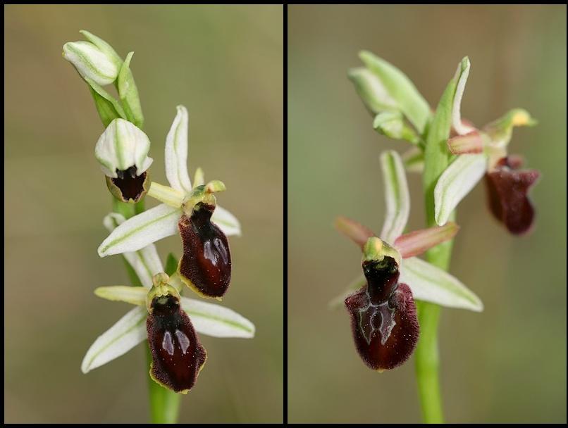 Ophrys exaltata arachnitiformis ( O. en forme d'araignée ) Ophara2