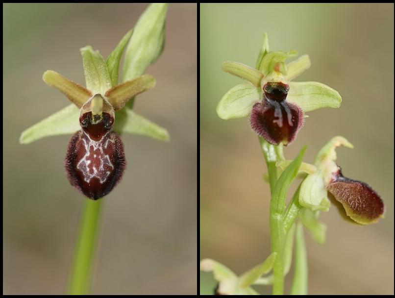 Ophrys exaltata arachnitiformis ( O. en forme d'araignée ) Ophara3