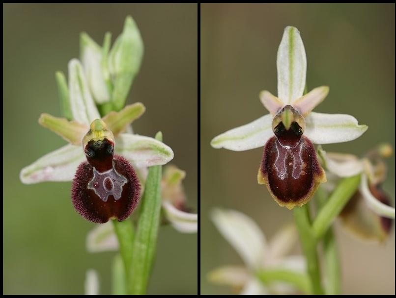 Ophrys exaltata arachnitiformis ( O. en forme d'araignée ) Ophara5