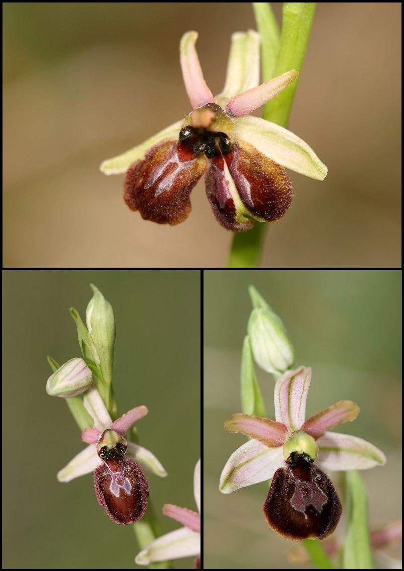 Ophrys exaltata arachnitiformis ( O. en forme d'araignée ) Ophara6