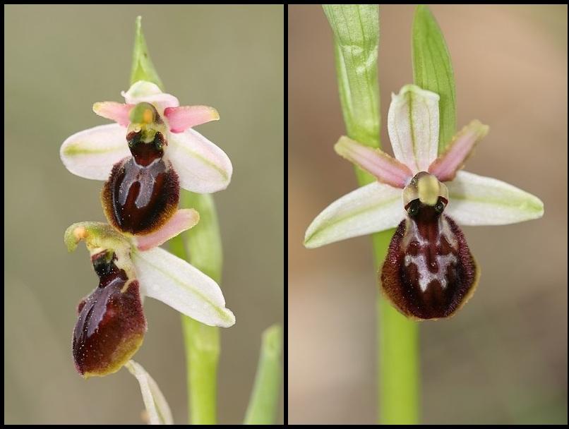 Ophrys exaltata arachnitiformis ( O. en forme d'araignée ) Ophara7