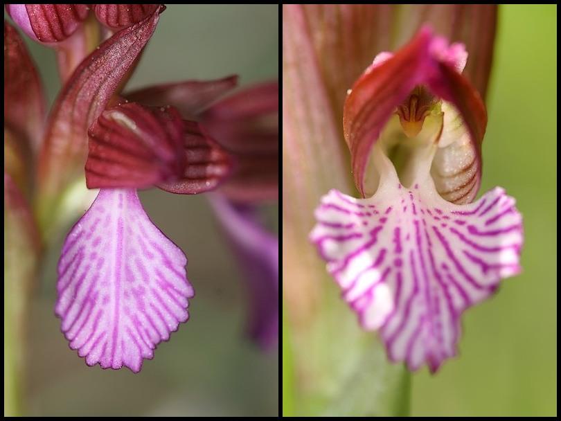 Anacamptis papilionacea (Orchis papillon ) Papillonacea1