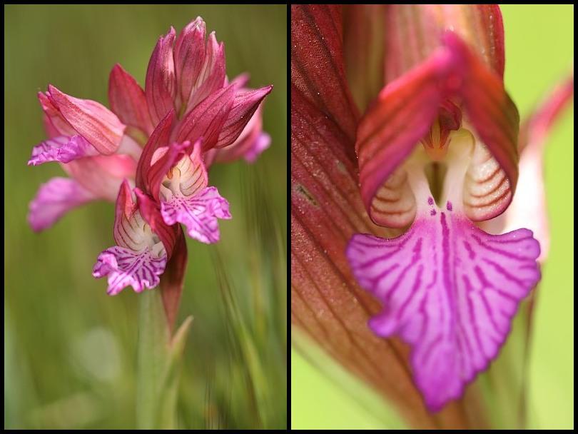 Anacamptis papilionacea (Orchis papillon ) Papillonacea2