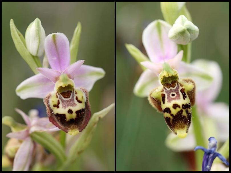 Ophrys druentica (Ophrys de la Durance) Pseudo1
