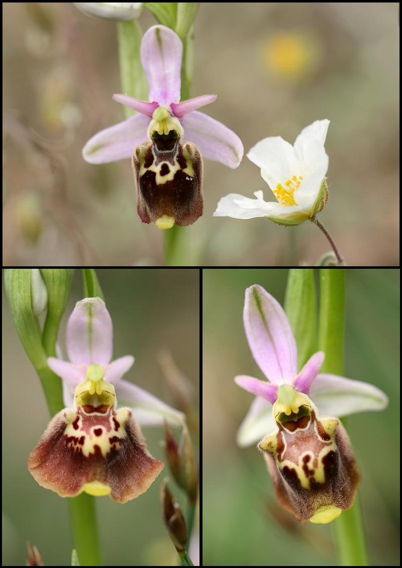 Ophrys druentica (Ophrys de la Durance) Pseudo4