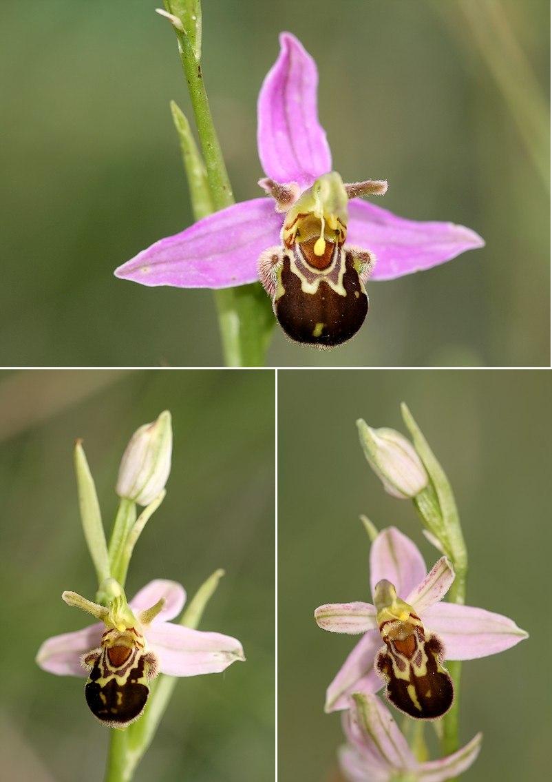 Apifera et ses variétés Aurita