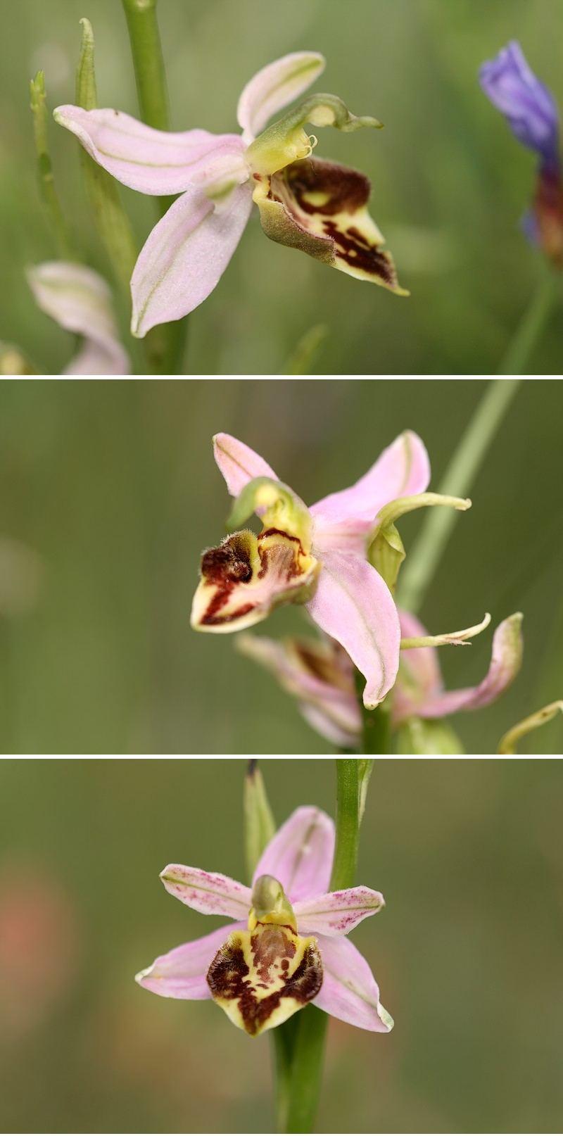 Apifera et ses variétés Curviflora