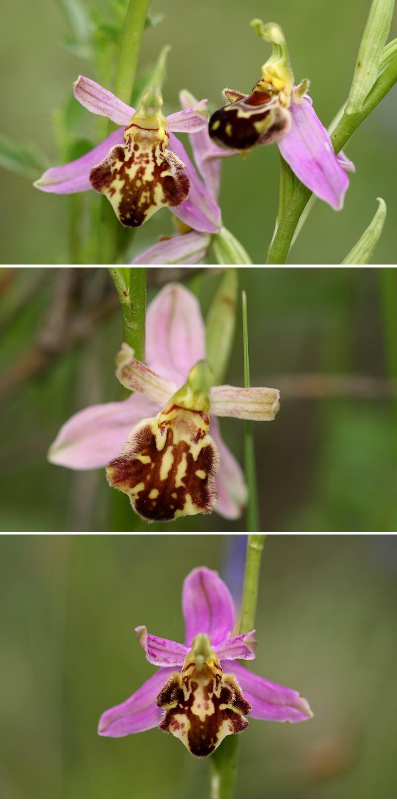 Apifera et ses variétés Curviflora2
