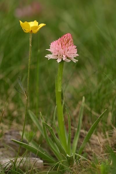 Gymnadenia ( Nigritella ) corneliana ( N.de Cornelia ) Corneliana