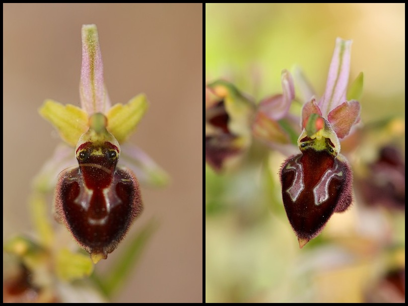 Ophrys morisii (Ophrys de moris ) Amorisii