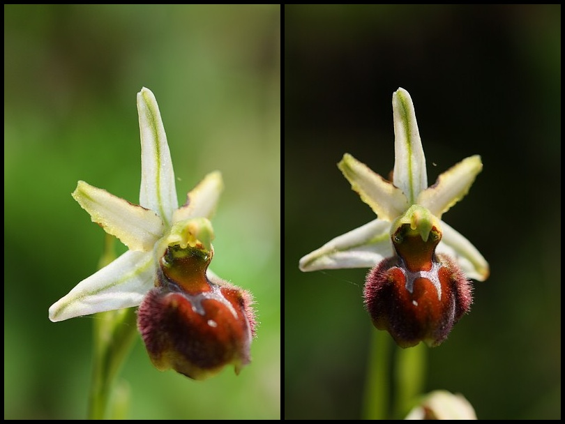 Ophrys panormitana var praecox (Ophrys précoce ) Praecox1