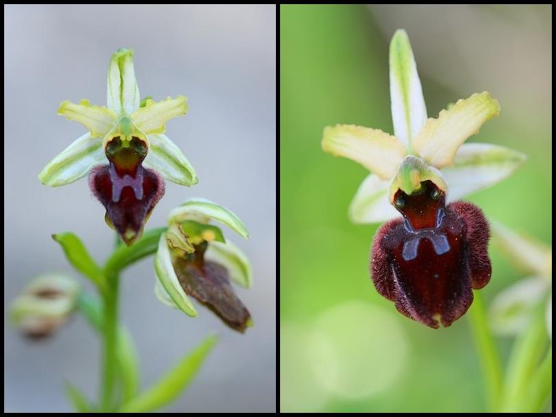 Ophrys panormitana var praecox (Ophrys précoce ) Praecox2
