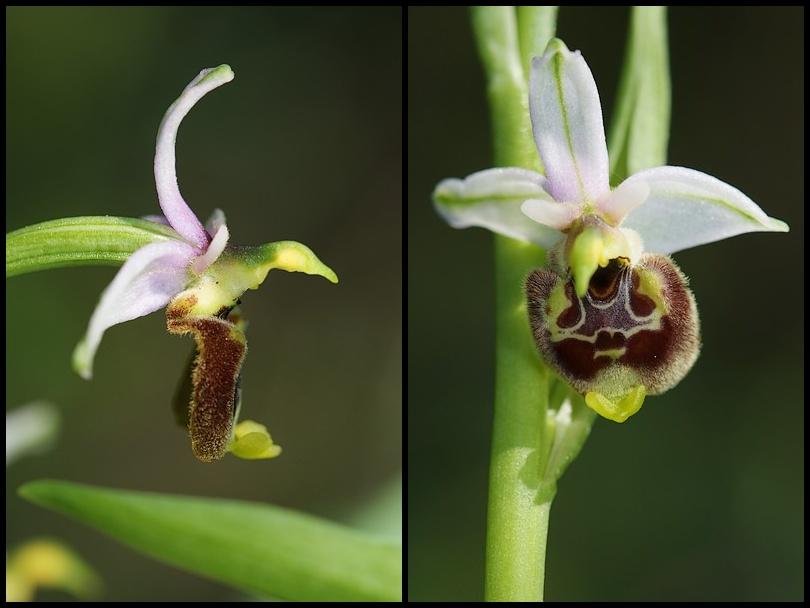 Ophrys annae ( Ophrys d'Anne ) Ophana2