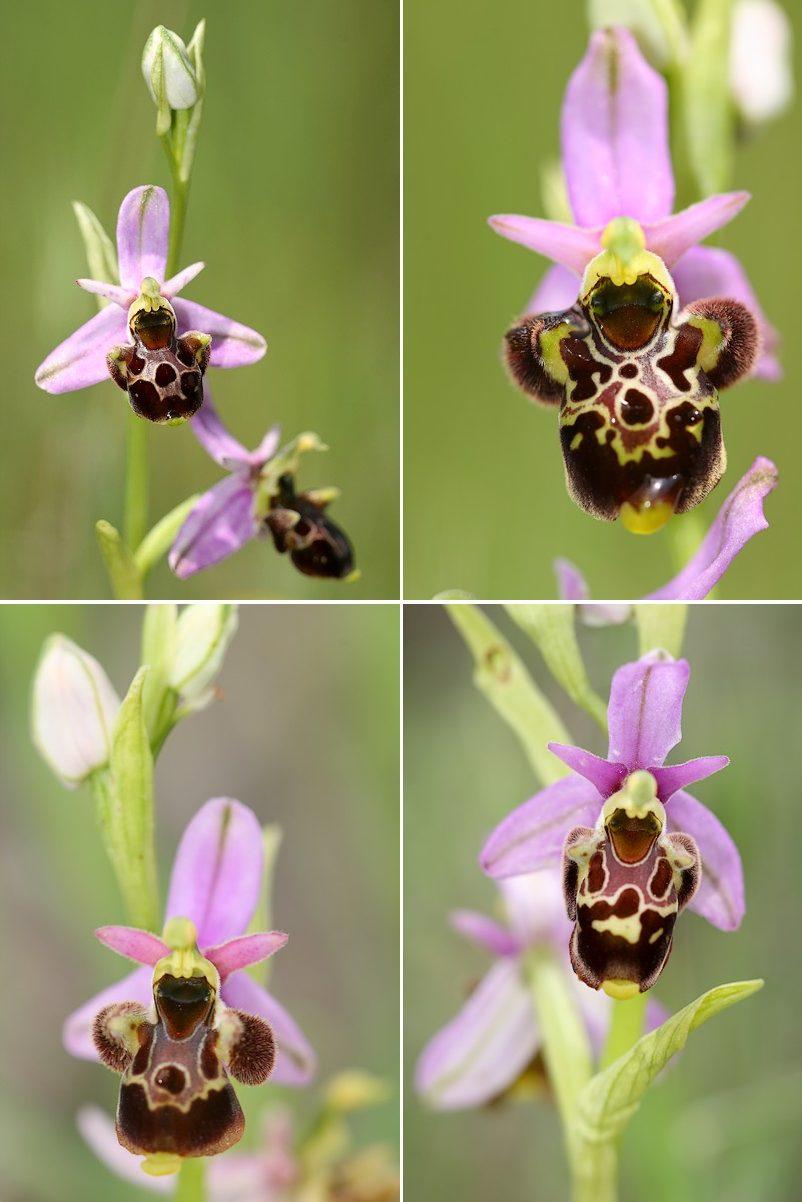 Ophrys vetula Vetula