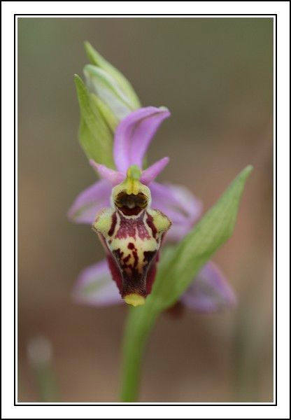 Ophrys druentica (Ophrys de la Durance) IMG_6756-BorderMaker