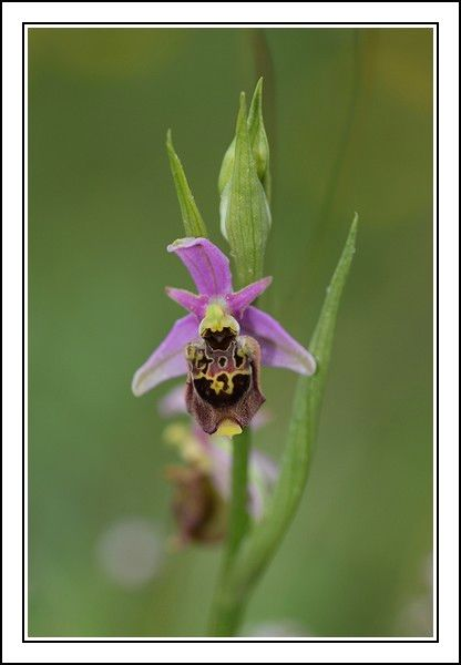 Ophrys druentica (Ophrys de la Durance) IMG_6769-BorderMaker