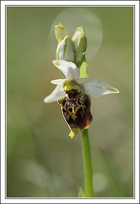Ophrys druentica (Ophrys de la Durance) IMG_6816-BorderMaker