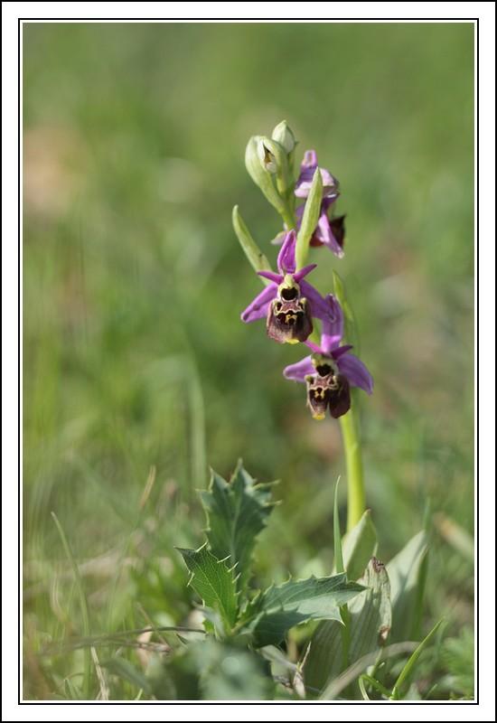 Ophrys druentica (Ophrys de la Durance) IMG_6823-BorderMaker