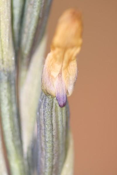 Limodorum trabutianum IMG_7943