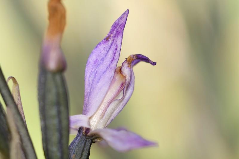 Limodorum trabutianum IMG_7951