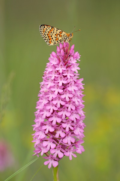 Papillon gourmand IMG_8419