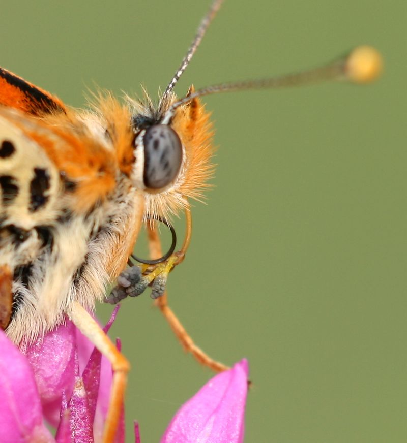 Papillon gourmand Pollinies