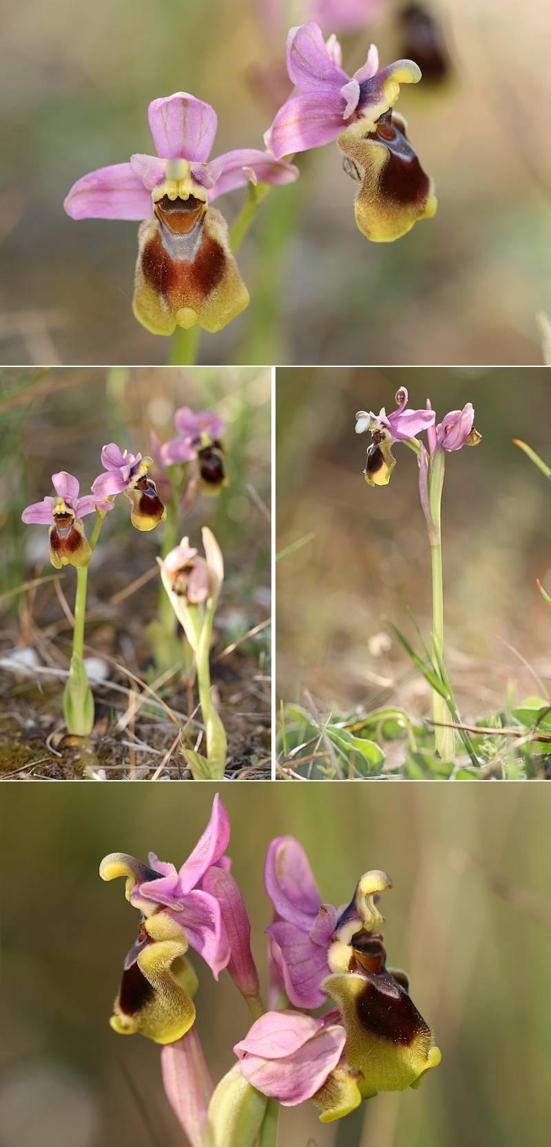 Ophrys tenthredinifera ( Ophrys guêpe ) Thentred1