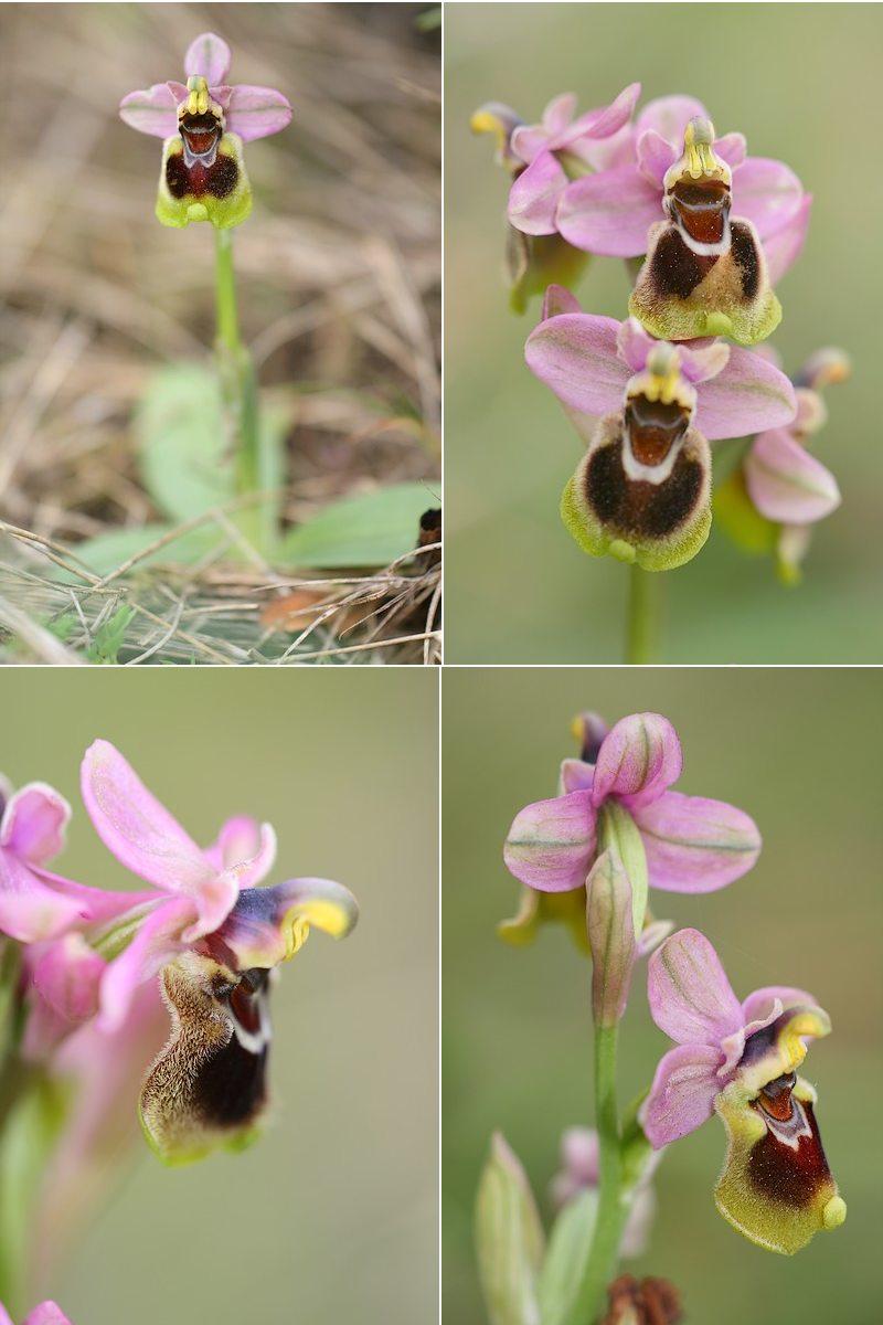Ophrys tenthredinifera ( Ophrys guêpe ) Thentred2