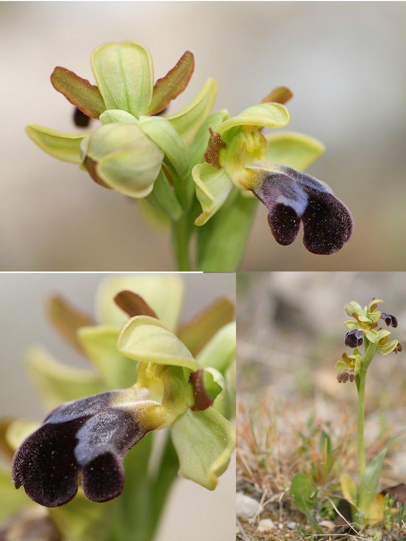 Ophrys vasconica ( Ophrys de Gascogne ) Vasconica