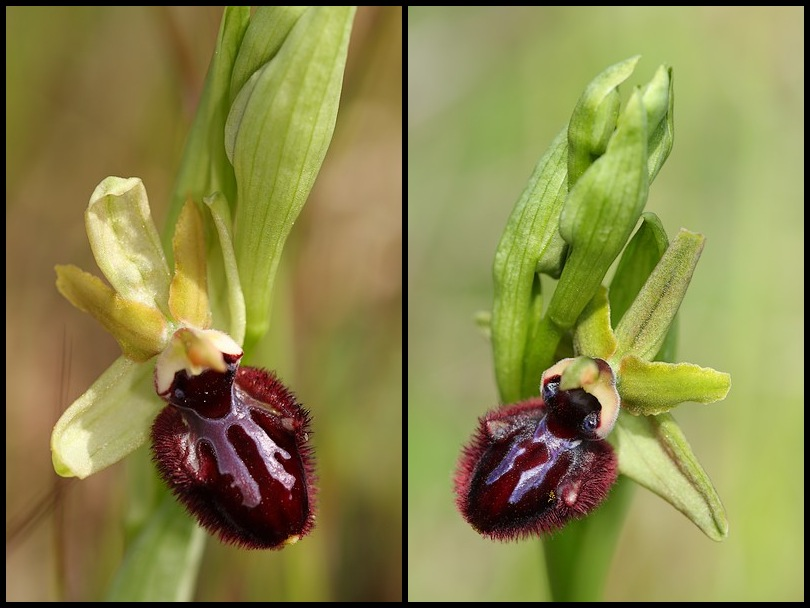 Ophrys incubacea ( Ophrys noir ) Incubacea