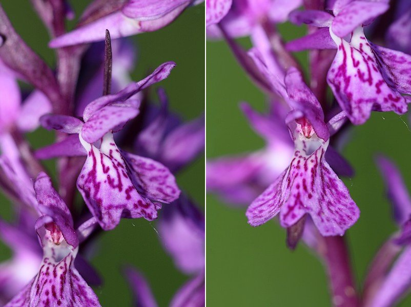 Dactylorhiza angustata ( Orchis du Dauphiné ) Dacang1