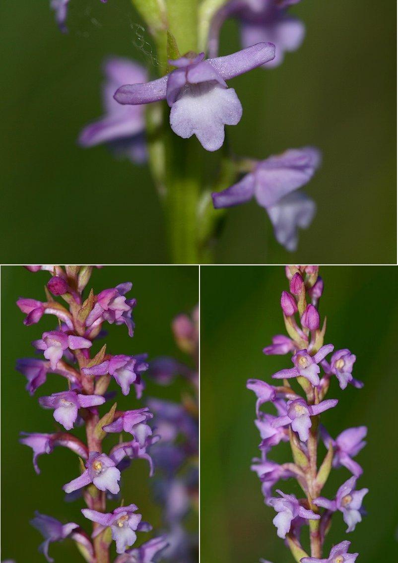 Gymnadenia odoratissima ( Orchis odorant ) Gymodo