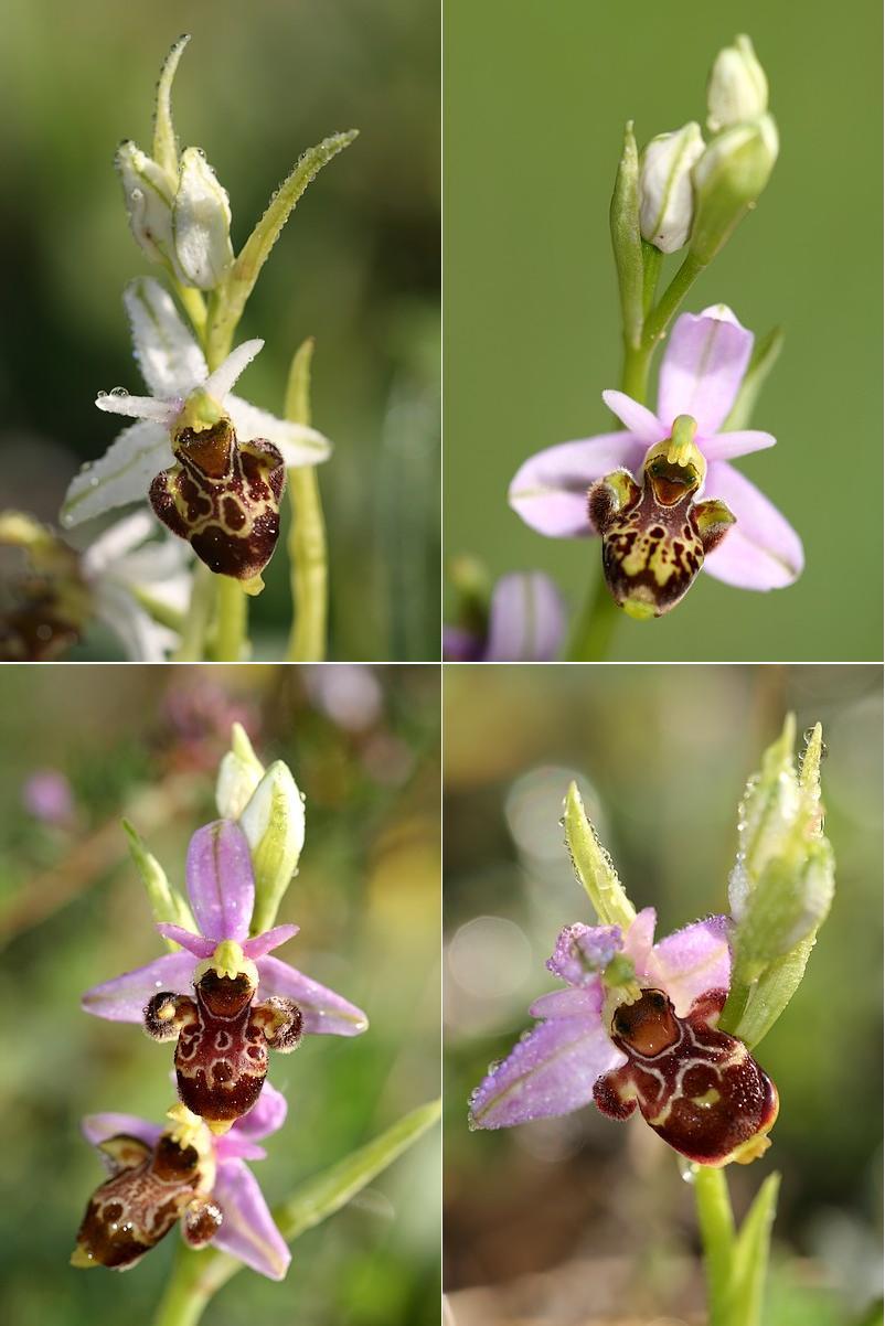 Ophrys vetula Vetula2