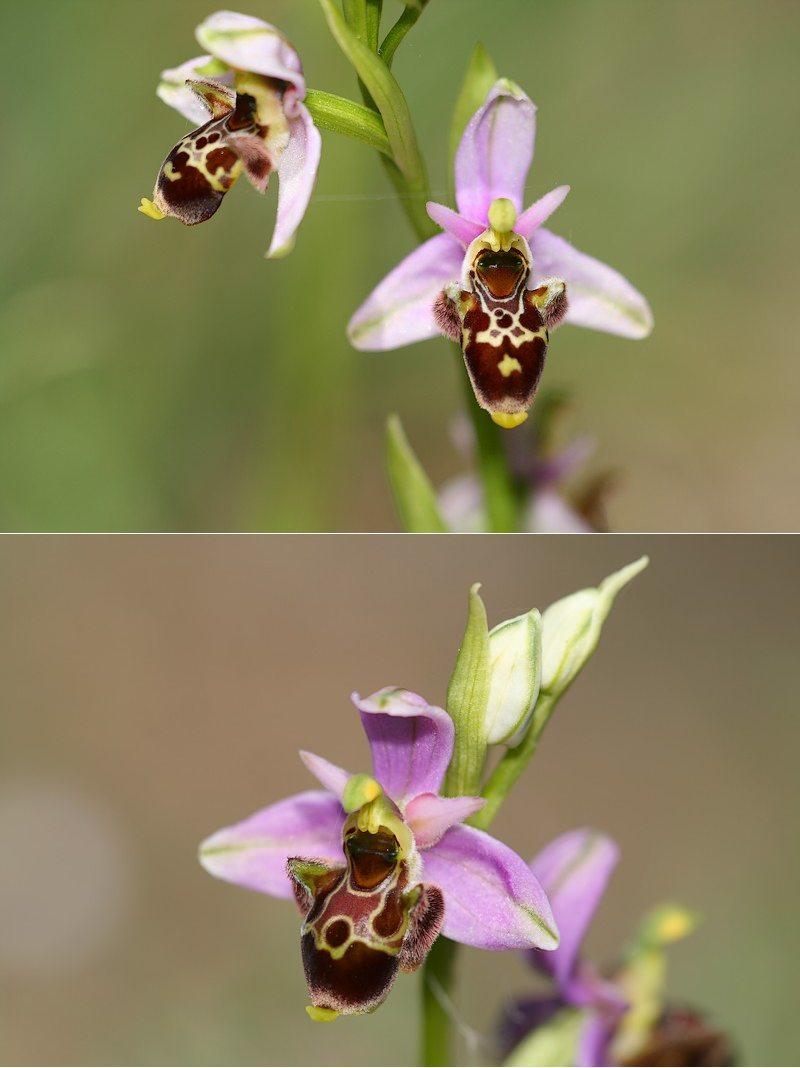 Ophrys vetula Vetula3