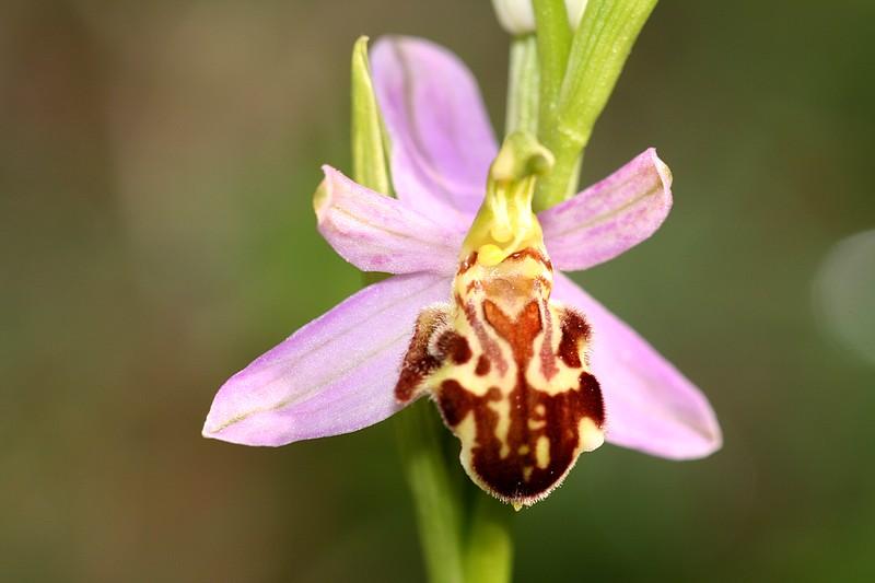 Ophrys apifera et ses variétés IMG_1365