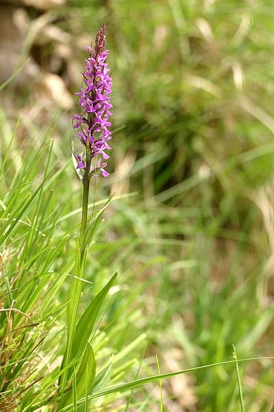 Dactylorhiza elata ( Orchis élevé ) IMG_1212