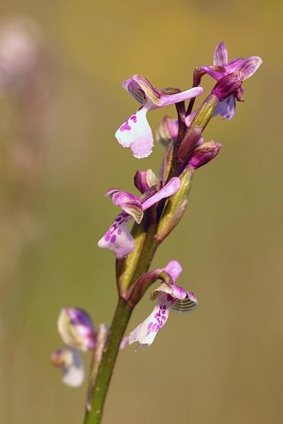 Anacamptis morio subsp. picta ( Orchis peint ) IMG_7583