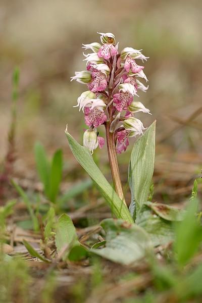 Neotinea lactea ( Orchis couleur de lait ) Noelac_6370t