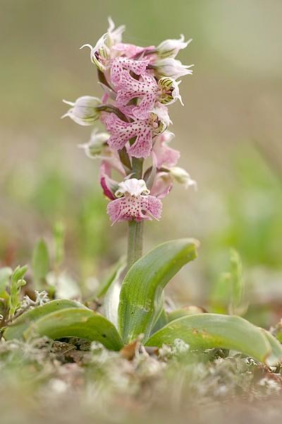 Neotinea lactea ( Orchis couleur de lait ) Noelac_6372t