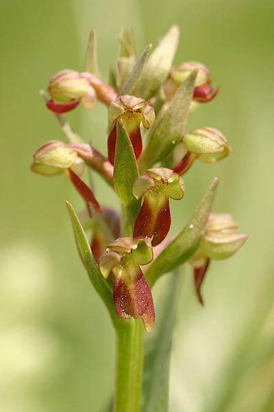 Dactylorhiza viridis( Orchis grenouille ) Grenouille3483
